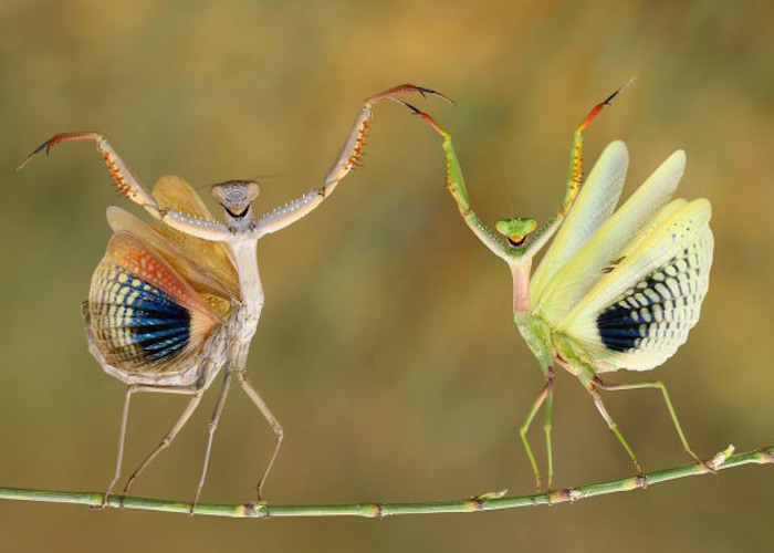 Smiling praying mantis